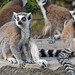 Ring-tailed Lemur - Photo (c) Tambako The Jaguar, some rights reserved (CC BY-ND)