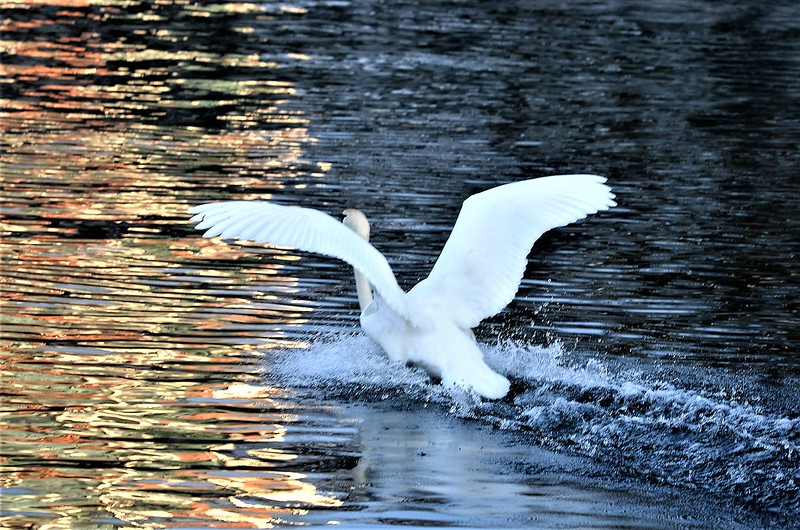 Swan 06.11 (1)