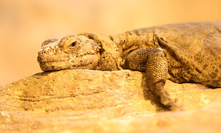 Common Chuckwalla (Sauromalus ater) sunbaking | by Wade Tregaskis