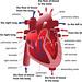 Human heart cross section. Poster, foto: Depositphotos