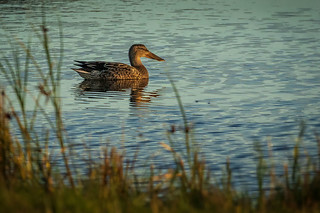 Northern Shoveler (female) | by arnewuensche66