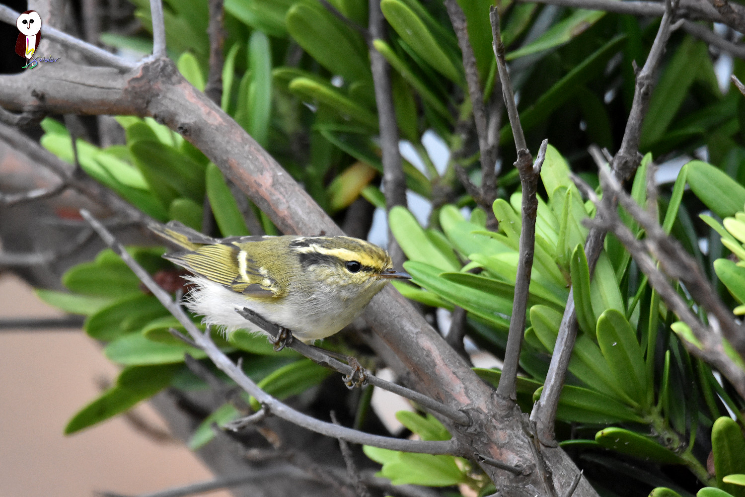 Yellow-browed_Warbler_6286