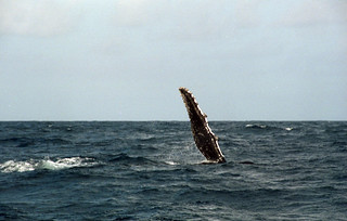 Whale Fin Slap | by TAZMPictures
