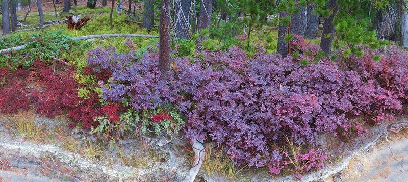 Huckleberry Bushes
