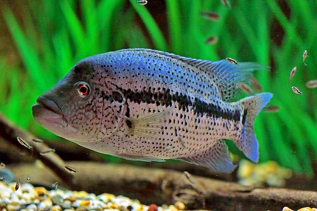 Dovii Wolf Cichlid With Fry 3 Kevin Dickinson Flickr