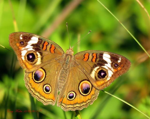 Common Buckeye Butterfly (Junonia Coenia Hübner)