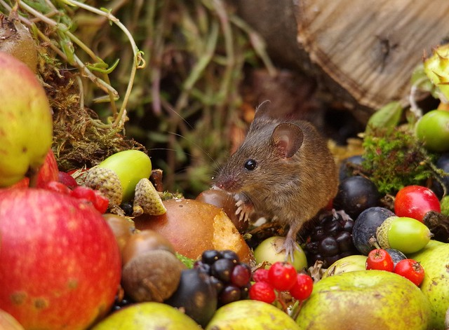 wild house mouse with wild picked fruits nuts and berries Autumn display (2)
