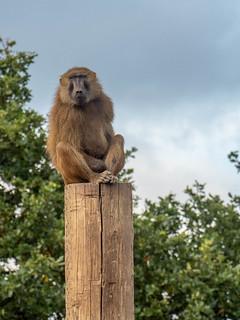 Baboon | by jakeblu