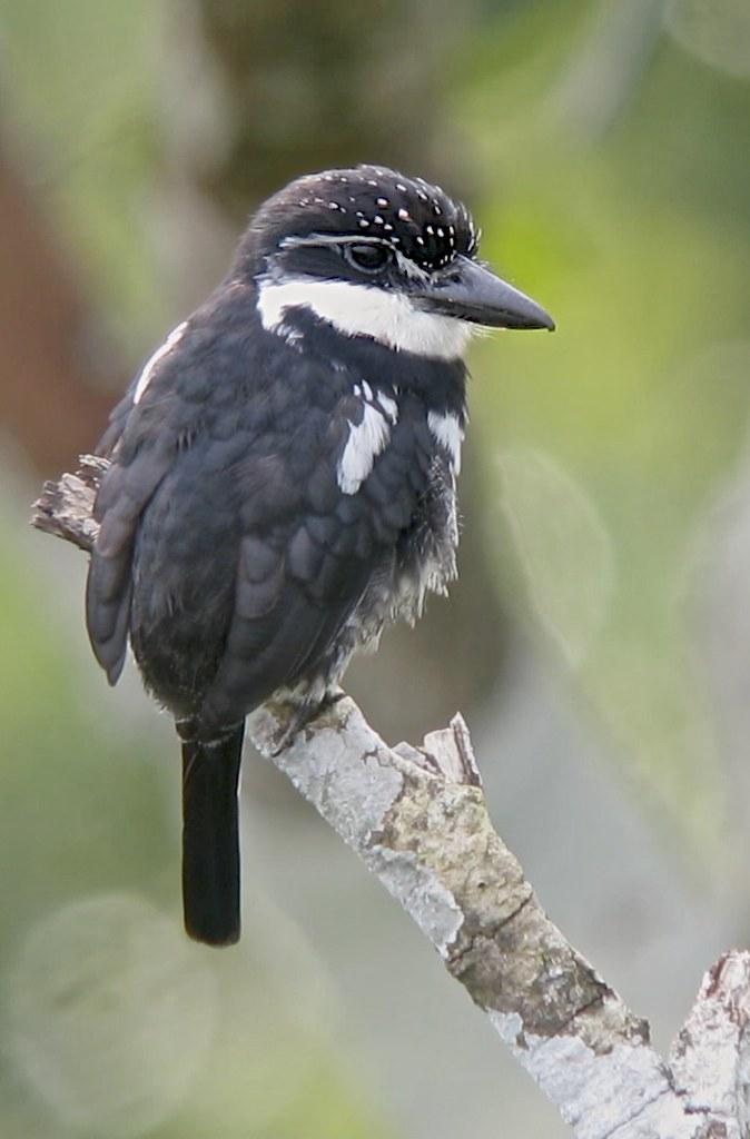 Pied Puffbird (Notharcus tectus), Napo, Ecuador