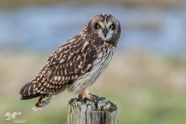 Short-Ear Remake (Short-Eared Owl)