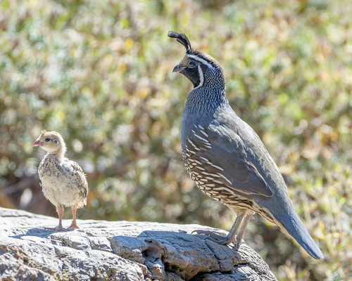 California Quail (m) with chick
