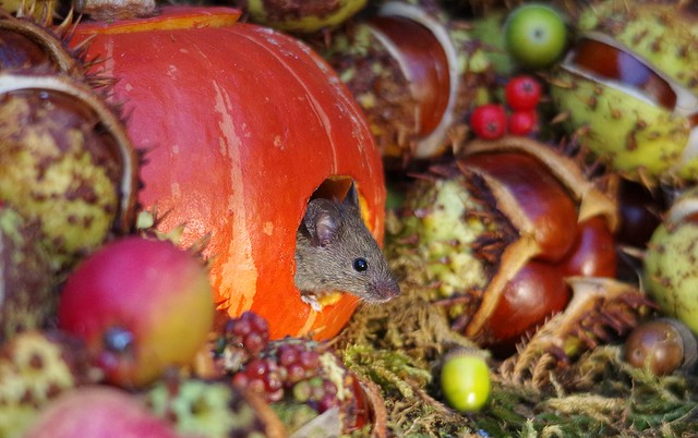 Mouse inside a Autumn pumpkin  (12)