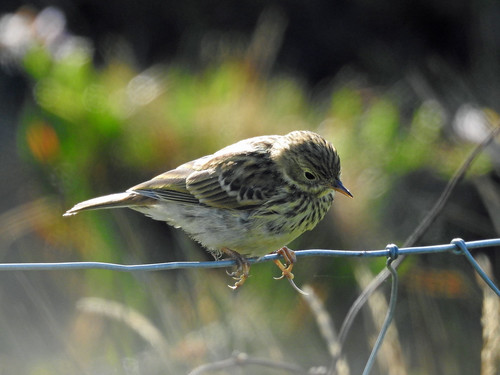 Meadow Pipit (Anthus pratensis) | by Brian Carruthers-Dublin-Eire