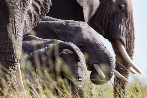 Serengeti_17sep18_03_generatii de elefanti2 | by Valentin Groza