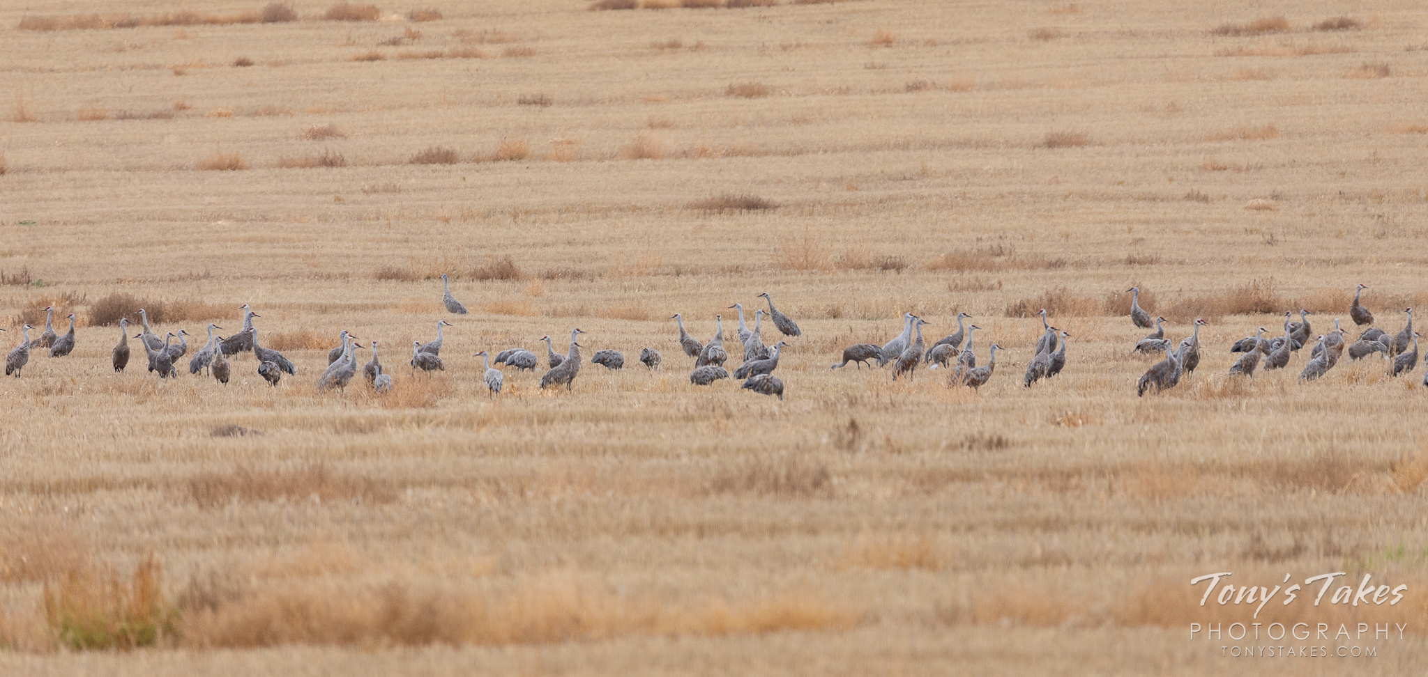 Sandhill Cranes galore on the plains