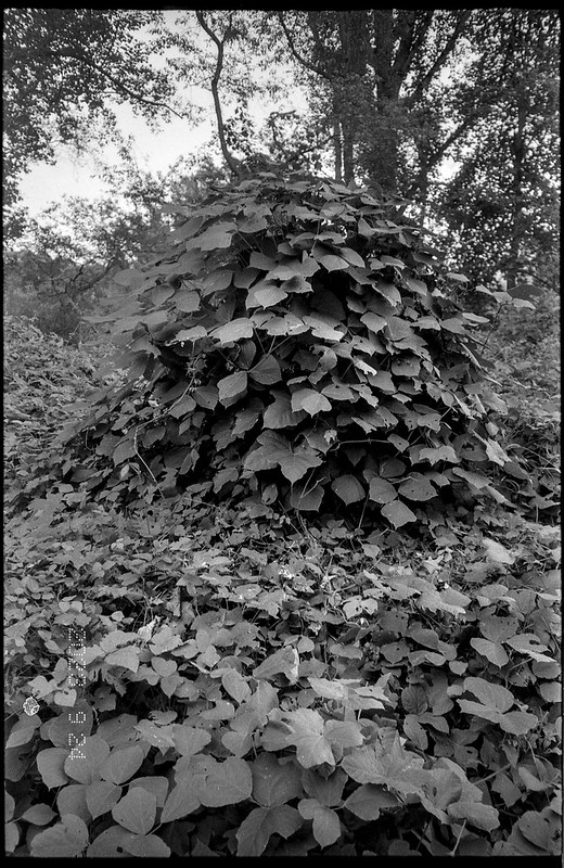 looking up, kudzu covered tree stump, Asheville, North Carolina, Leica C1, Rollei RXP 400, Kodak TMAX developer, 12.29.18