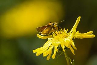 Fiery Skipper (Hylephila phyleus) sucking nectar of Suisun Gumplant (Grindelia paludosa)   by Minder Cheng
