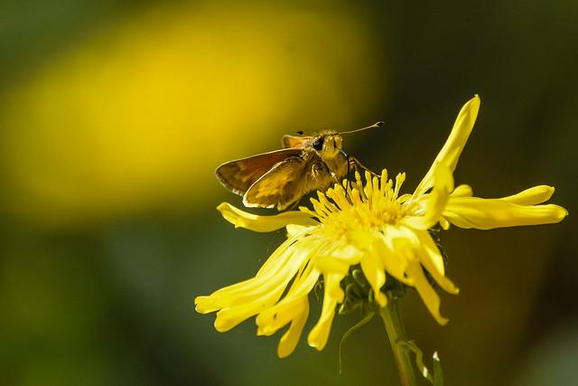 Fiery Skipper (Hylephila phyleus) sucking nectar of Suisun Gumplant (Grindelia paludosa)