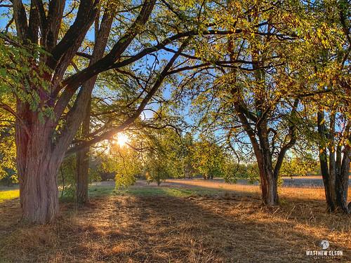sunrise autumn fall champoeg oregon oak oaktrees branches grass meadow morning