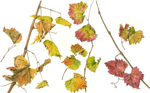 Vitis vinifera Leaves