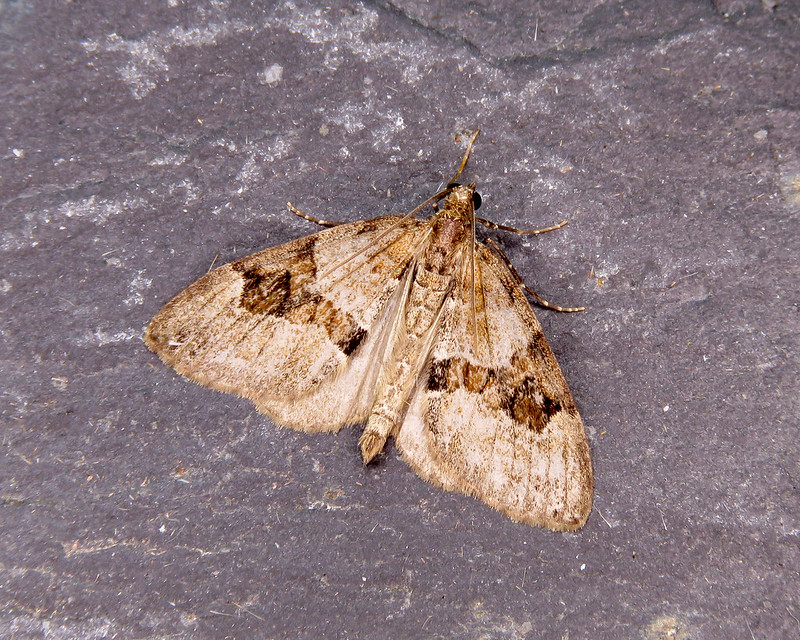 70.081 Grey Pine Carpet - Thera obeliscata