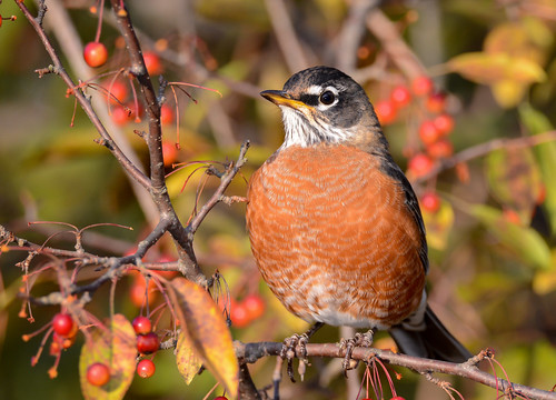 American Robin | by JDA-Wildlife