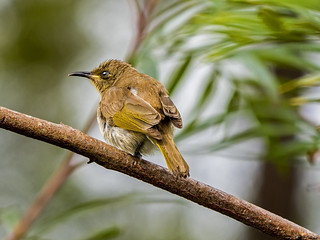 Brown Honeyeater (3) | by bidkev1 and son (see profile)