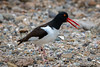 American Oystercatcher by mathurinmalby