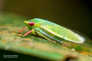 Leafhopper (Krisnini) - DSC_3577