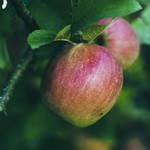2018:09:18 18:01:55 - Garden Apple Bokeh