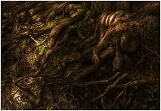Roots of yew tree 741_065 crop3 kline