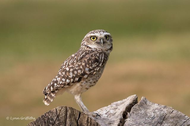 Burrowing Owl D85_4185.jpg