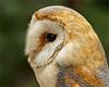 Barn owl portrait close by Foto Martien