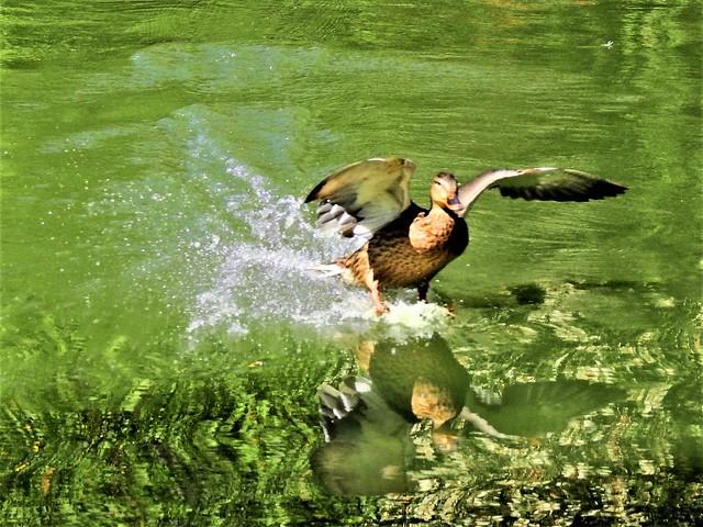 Water landing of a duck  DSCN9616
