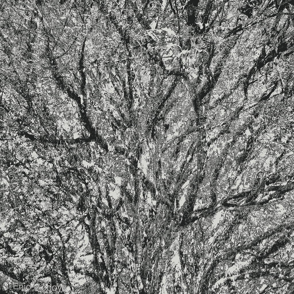 Jabuticabeira - Plinia cauliflora