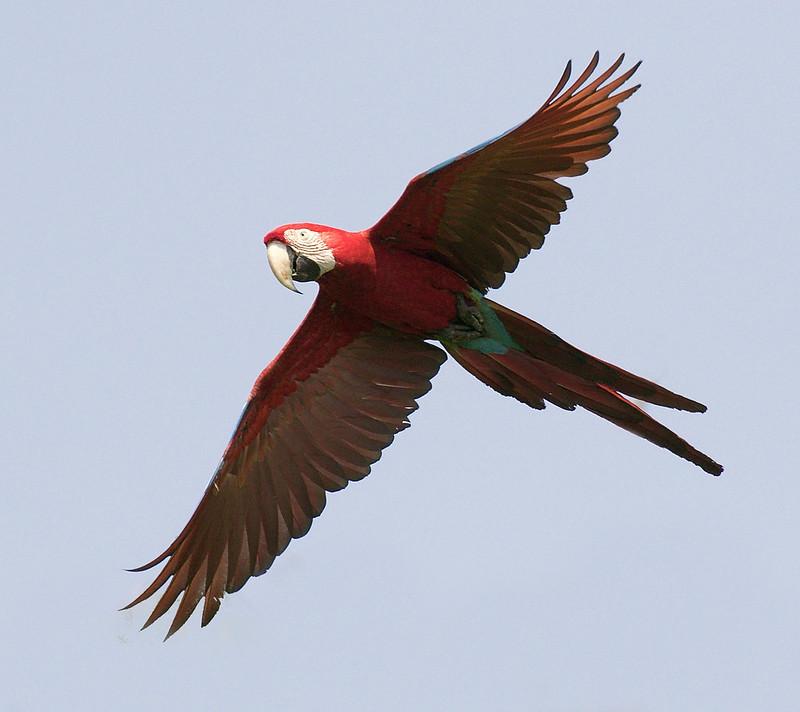 Red-and-green Macaw, Ara chloropterus 199A8564