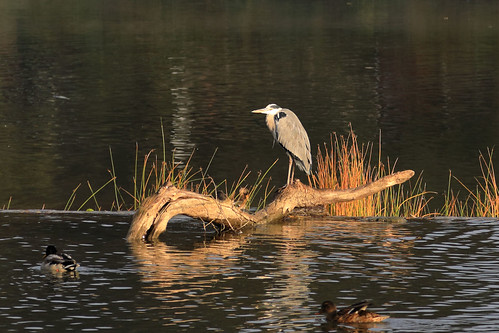 Grey heron and mallards | by dmmaus