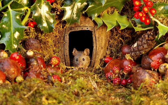 wild house mouse with holly christmas  (6)