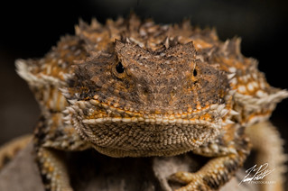 Greater Short-horned Lizard | by Frank Portillo