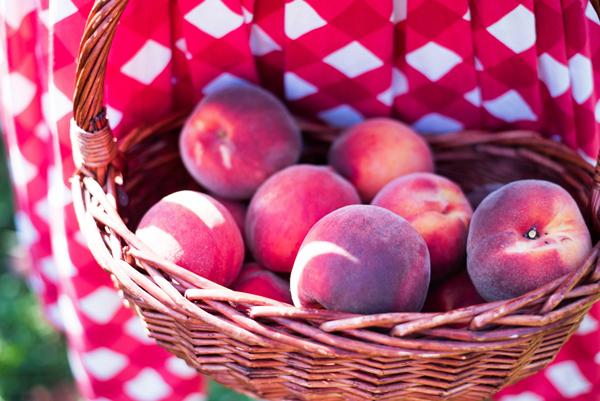 u pick peaches nectarines rochester ny