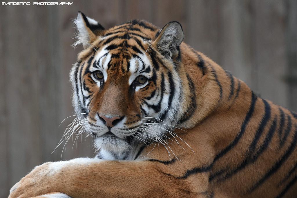 Bengal tigress - Zoo Amneville