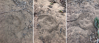 Canyon_Paw prints x3 | by DarleneEats