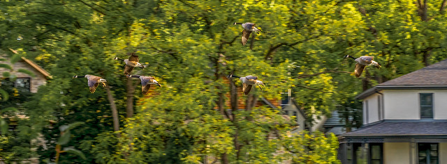 Geese flying through the trees
