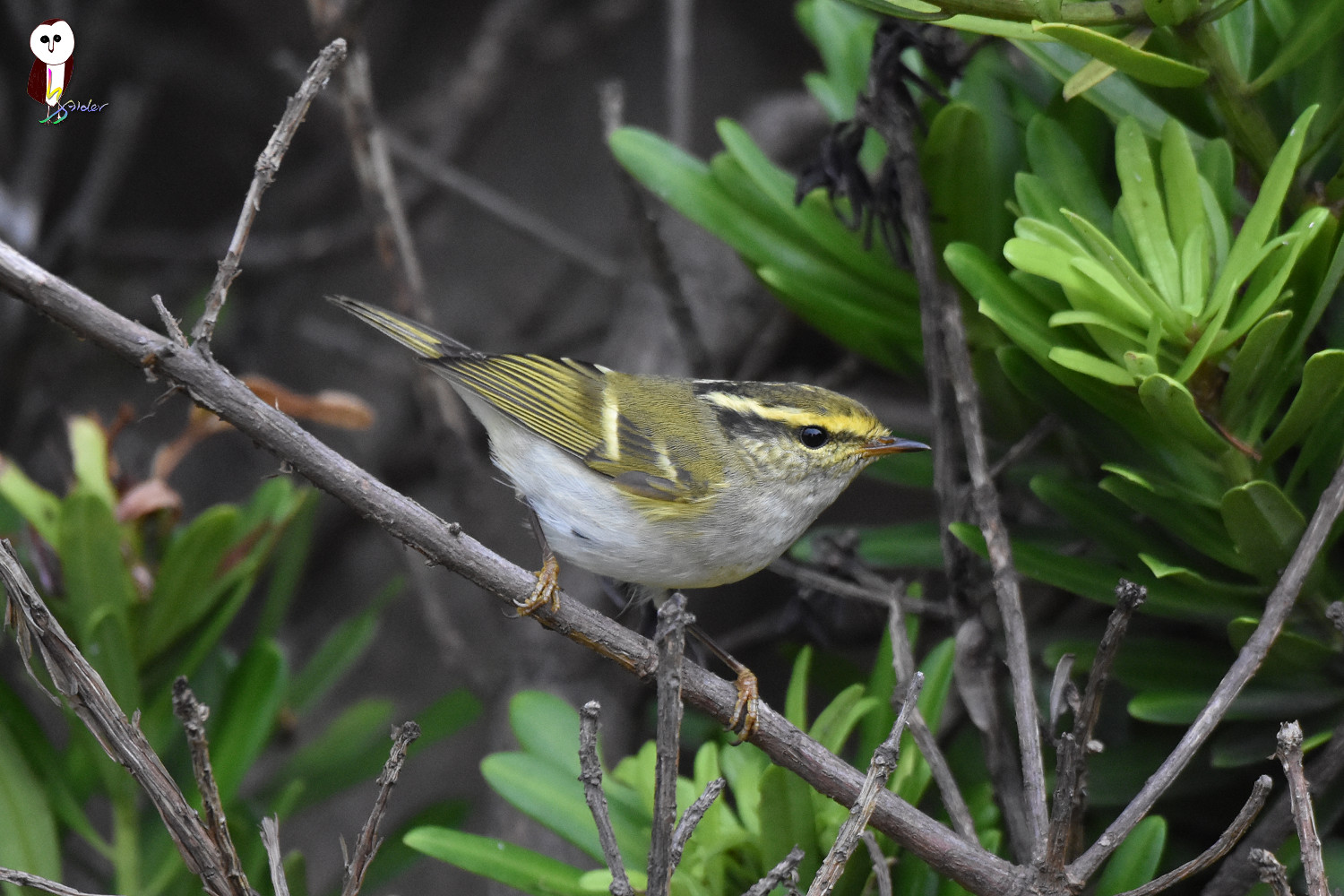 Yellow-browed_Warbler_6143