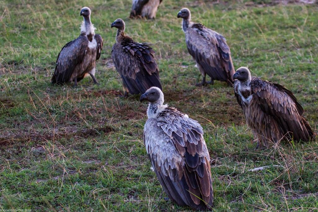 Maasai Mara_13sep18_26_white-backed vultures