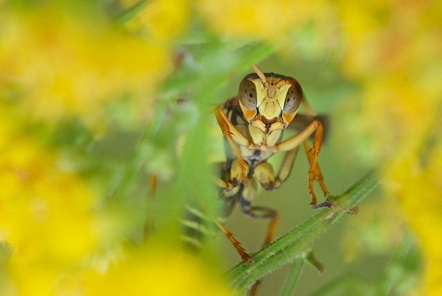 Paper Wasp through the Golden Rod Blossoms