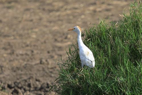 Cattle egret | by dmmaus