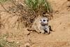 suricata cub by JirikD