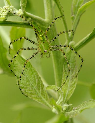 arthropod spider araneae oxyopidae peucetia peucetiaviridans lynxspider greenlynxspider northcarolina piedmont sigma150mmexdgf28macro arachtober inaturalist