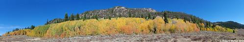 aspen tree grove fallcolor autumn leaves logancanyon utah mountain valley panorama sagebrush rock cliff pine quakie